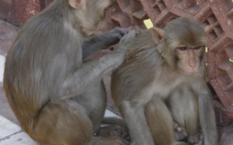 Monkeys in India